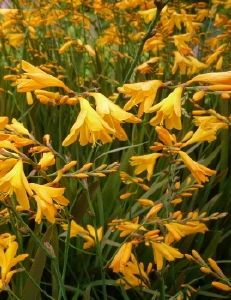 Crocosmia Gerbe d'Or (Coleton Fishacre)