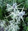 Eryngium - The 6 plant Eryngo Sea Holly Collection