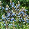 Salvia uliginosa 'Reach for the Skies'