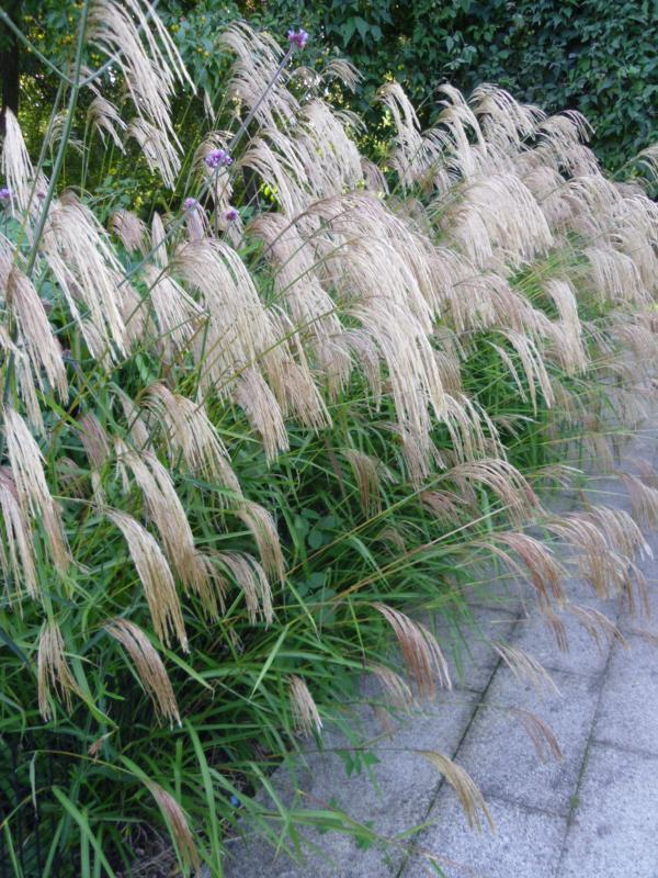 Ornamental grass 12 mixed variety collection plants to for Top ten ornamental grasses