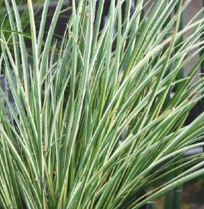 Buy acorus gramineus 39 variegatus 39 delivery by for Large ornamental grass plants
