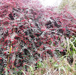 NEW Cotoneaster 'St. Andrews Blaze'