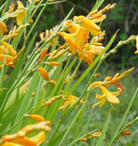 Crocosmia × crocosmiiflora 'Honey Angels'