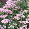Ultimate Umbels Collection -  9 of the best garden umbellifers.