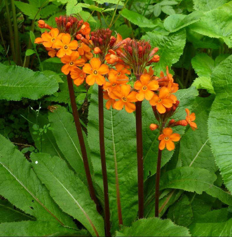 Primula chungensis 1 x Candleabra Perennial Plant in 9cm Pot