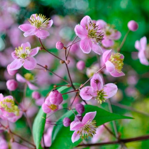 Buy Thalictrum rochbrunianum