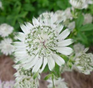 Humble Umbels - White, Cream and Green - 6 Plant Collection