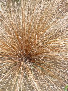 Carex buchananii (AGM)