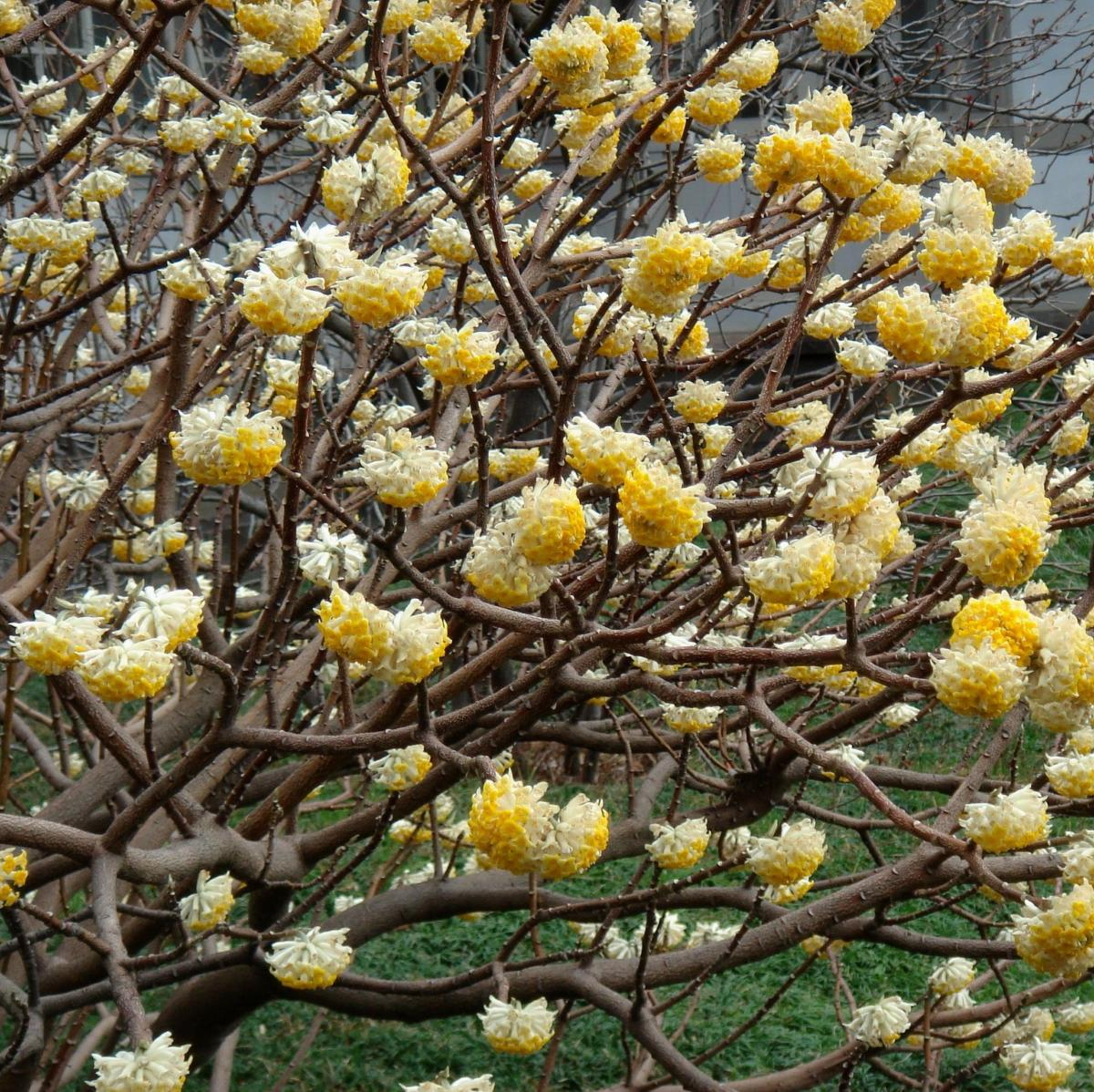 Edgeworthia Chrysantha Unusual Shrubs Direct From