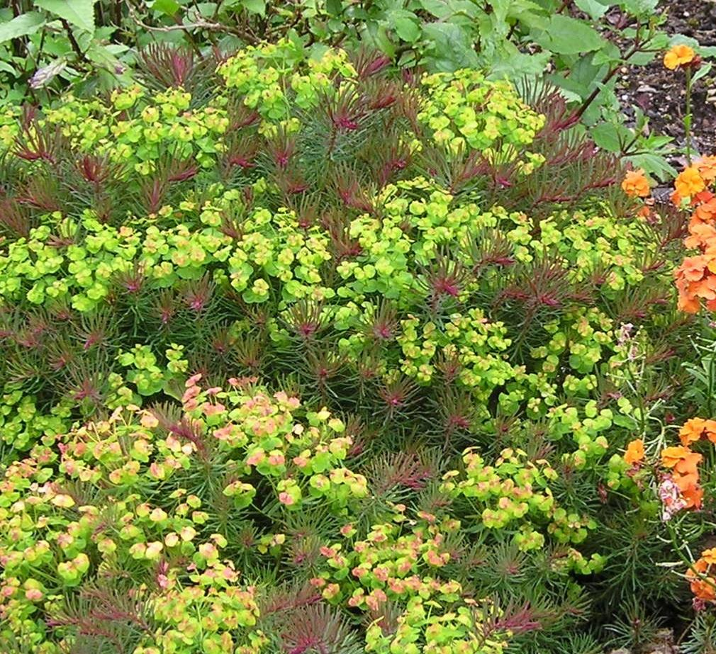 Which Plant Was Native To The New World: Buy Euphorbia 'Fen's Ruby': Clarice Howard, Red Devil