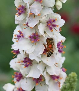 Verbascum chaixii Wedding Candles